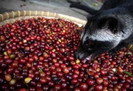 Dünyanın en pahalı kahvesi bir hayvan dışkısından
